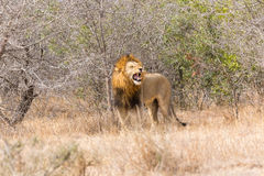 Lion mâle hurlant photo libre de droits