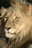 Lion mâle magnifique. Photographie stock