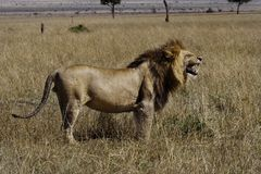 Lion mâle, masai Mara Photo stock