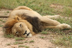 Lion mâle paresseux Photos libres de droits