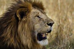 Lion mâle principal, masai Mara, Kenya Photo stock