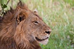Lion mâle se situant à la nuance Photographie stock