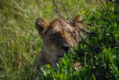 Lion Maasai Mara National Reserve Kenia África fotografía de archivo libre de regalías
