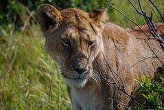 Lion Maasai Mara National Reserve Kenia África fotografía de archivo