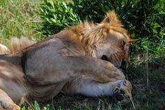 Lion Maasai Mara National Reserve Kenia África foto de archivo libre de regalías