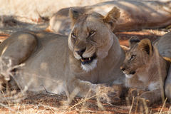 Lion, Madikwe Game Reserve Stock Photography