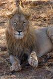 Lion, Madikwe Game Reserve Royalty Free Stock Photo