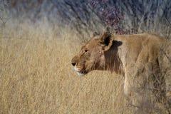 Lion, Madikwe Game Reserve Stock Images