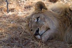 Lion, Madikwe Game Reserve Stock Image