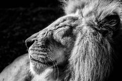 Lion. The magnificant lion king focused Royalty Free Stock Photography
