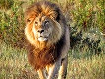 Lion magnifique dans l'approche de l'Afrique Image stock
