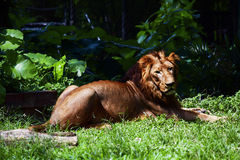 Lion. The majestic lion, the king of the forest is relaxing. Even his calm sideways glance holds tremendous power. His tawny mane outlines the fierce royalty of Stock Photos