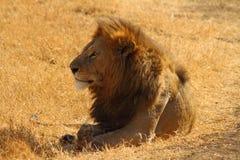 Lion majestueux Images libres de droits