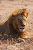 A lion makes a face Royalty Free Stock Photos