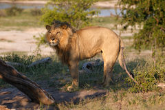 Lion. In the Makgadikgadi Pans National park in Botsuana Stock Image