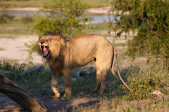 Lion. In the Makgadikgadi Pans National park in Botsuana Royalty Free Stock Photography