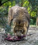 Lion Male Imagens de Stock Royalty Free