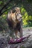 Lion Male fotos de archivo libres de regalías