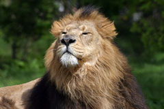 Lion Male. Close up of male lion smelling the air Royalty Free Stock Photos
