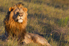 Lion male. Large lion male overlooks a grassland in search of prey Stock Images