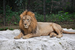 Lion Male Royalty Free Stock Photo