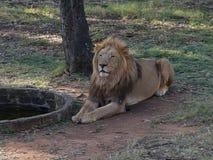 Lion Male Fotografering för Bildbyråer