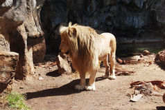 Lion Male Arkivfoton