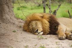 Lion male in africa Royalty Free Stock Photos