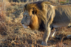 Lion Male Africa Savannah Walking Royalty Free Stock Photography