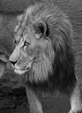 Lion. Male African Lion Profile Black And White Royalty Free Stock Photos