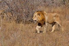 Lion male Stock Photo
