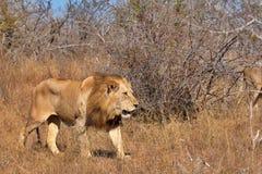 Lion male Stock Photos