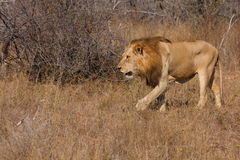 Lion male Royalty Free Stock Images