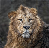 Lion male 1 Royalty Free Stock Photo