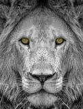 Lion Royalty Free Stock Photo