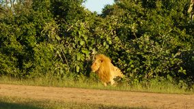 Lion male in the bush royalty free stock image