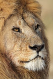 Lion male close-up portrait, Serengeti, Tanzania. Dominant lion male with huge mane in soft morning light, Serenget National Park, Tanzania, East Africa Royalty Free Stock Image