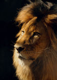 Lion Male Closeup Stock Photo