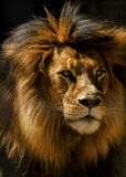 Lion male closeup Royalty Free Stock Images