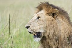 Lion male  with dark manes looking in distance, portrait Stock Photo