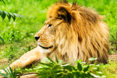 Lion Male De Leeuw van Panthera Stock Fotografie