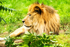Lion Male De Leeuw van Panthera Stock Foto's