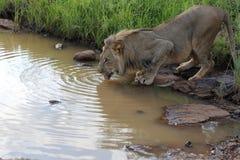 Lion Male Drinking adolescente en el parque nacional de Hwage, Zimbabwe Fotos de archivo