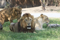 Lion male and female lying on green grass field Stock Photo