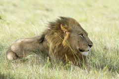 Lion male on grassland Stock Photos