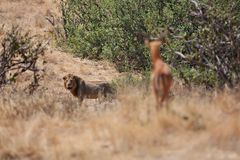 Lion male and his wild prey Stock Images
