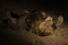 Lion male with huge mane lay to rest on sand in darkness. Lion male with huge mane lay on sand in darkness Royalty Free Stock Photos