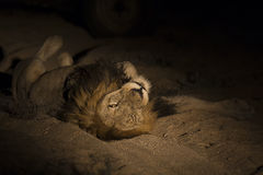 Lion male with huge mane lay to rest on sand in darkness. Lion male with huge mane lay on sand in darkness Royalty Free Stock Image