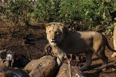 Lion Male Hungry adolescente en el parque nacional de Hwage, Zimbabwe Fotos de archivo