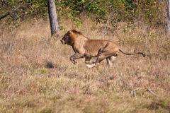 Lion male hunt run fast Royalty Free Stock Photos